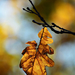Autumn Leaf 0057