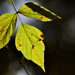 Autumn Leaves 0197