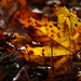 Autumn Leaves 0172