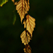 Autumn Leaves 0275