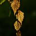 Autumn Leaves 0275