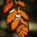 Autumn Leaves 0223
