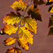 Autumn Leaves 0118