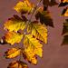 Autumn Leaves 0118
