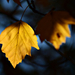 Autumn Leaves 0016