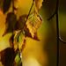 Autumn Leaves 0170