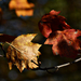 Autumn Leaves 0171