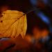 Autumn Leaf 0062