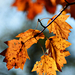 Autumn Leaves 0024