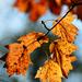 Autumn Leaves 0024