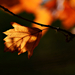Autumn Leaf 0047