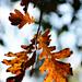 Autumn Leaves 0001