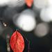 Autumn Leaves 0146