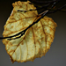 Autumn Leaf 0356