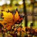 Autumn Leaf 0240