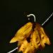 Autumn Leaf 0005