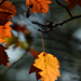 Autumn Leaves 0026