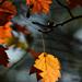 Autumn Leaves 0026