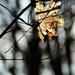 Autumn Leaf 0161