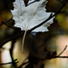 Autumn Leaf 0186