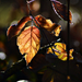 Autumn Leaves 0037