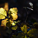 Autumn Leaves 0099