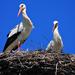 Stork Couple 0009