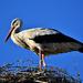 Stork 0033