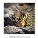 A pillangó sztár akart lenni (Szigligeti vár)
