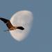 Hold és szárnyak