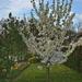 Kis fa - sok virág