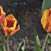 Tulipán család
