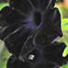 Fekete petúnia