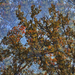Őszi variáció