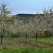 Cseresznyéskert