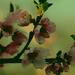 Nektarin virág