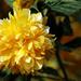 Sárga szépség
