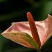 Flamingóvirág
