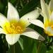 túlnyílott tulipán