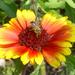 méhecske kokárda virágon