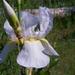 Írisz-virág