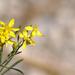 Mt Charleston Yellow Wildflower
