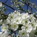 Meggyfa virágzás