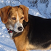 Szada - töprengő kutya