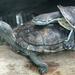 Bp- állatkert - teknősök