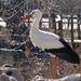 Bp- állatkert - gólya 1