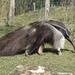 Bp- állatkert - sörényes hangyász
