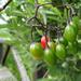 Kaszó 32 csucsor termés