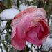 Vác - 8 rózsa