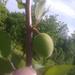 Biricoccolo Gigante de Budrio
